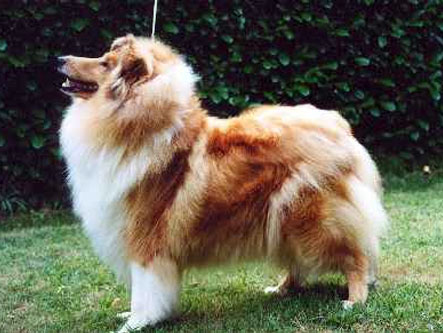 Q'Cathy de Gold Collies